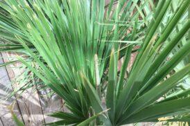 Brahea Edulis (Guadalupe palm)