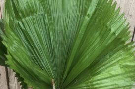 Licuala Grandis (Waaierpalm)