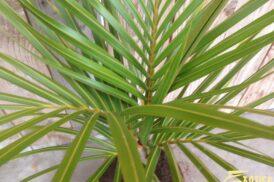 Hyophorbe Verschaffeltii (Flessenpalm) (Groot)