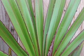 Latania Lontaroides (Rode Latan)
