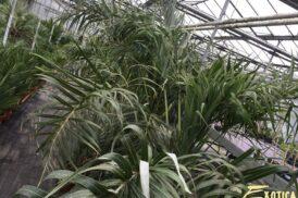 Allagoptera arenaria (seashore palm)