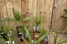 Brahea edulis + 4 palmen bundel