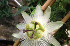 Passiflora 'Constance Elliott'