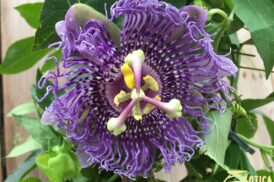 Passiflora 'Incense'