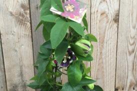 Passiflora 'Marijke'