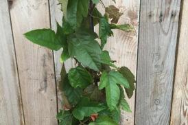 Passiflora Coccinea – Vitifolia