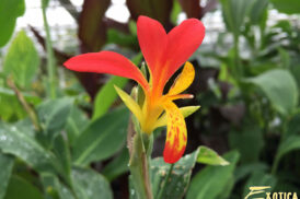 Canna Brasiliensis