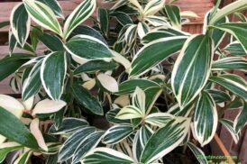Costus arabicus variagata