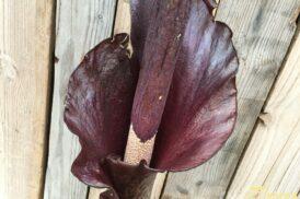 Amorphophallus Konjac (Penisplant, voodoolelie, duivelstong)