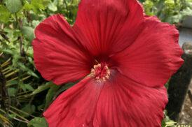 Hibiscus Moscheutos Oak Red