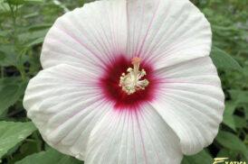 Hibiscus Moscheutos Cloudy Pink