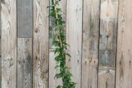 Bignonia Cherere – Amphilophium buccinatorium – Trompetklimmer
