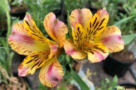 Alstroemeria Marguerite