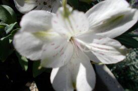 Alstroemeria EXO 186