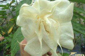 Brugmansia Angels Baby