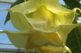 Brugmansia Angels Golden Shower