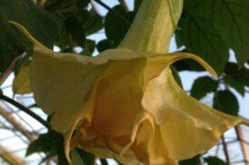 Brugmansia Angels Mandarin