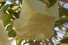 Brugmansia Angels Primadonna