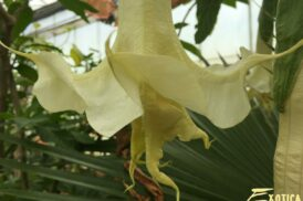 Brugmansia Exotica Double Yellow