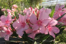 Nerium Oleander (Pot22)