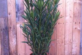 Nerium Oleander (Pot22) Rosa Variegata