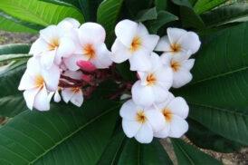 Plumeria JJ Mini White