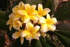 Plumeria Inca Gold