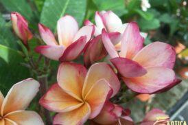 Plumeria Captivate