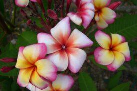 Plumeria Thumbalina