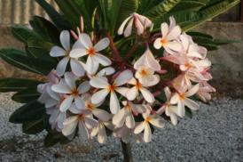 Plumeria Obtusa dwarf Singapore pink