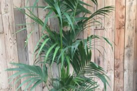 Howea Forsteriana (kentia palm)