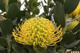 Leucospermum Ayoba Gold
