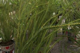 Banksia Meisneri