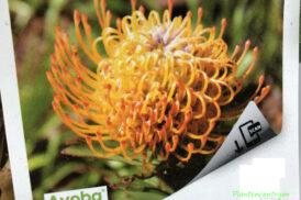 Leucospermum Ayoba Sun