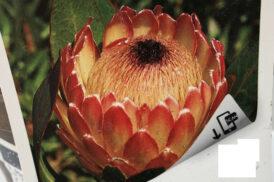 Protea Susare