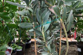Protea Rosanne