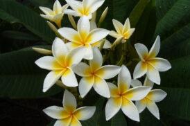 Plumeria Rubra Star White