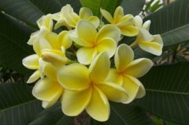 Plumeria Rubra Australian Yellow – Bowen Yellow