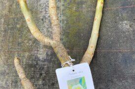 Plumeria Rubra Tonda Palermitana