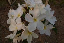 Plumeria Ken's white