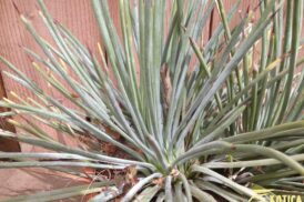 Agave Stricta Blue