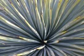 Yucca's, Agaves & Succulenten