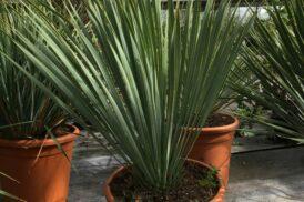 Yucca Rostrata (Beaked Yucca)