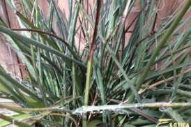 Hesperaloe parviflora (rode yucca)