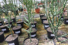 Opuntia kleiniae