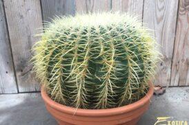 Echinocactus Grusonii (Schoonmoeders stoel)