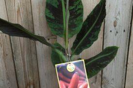Musa Accuminata 'Red Dacca' (Rode banaan)