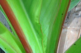 Ensete Ventricosum (Groen)