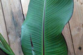Ensete Ventricosum 'Maurelli'