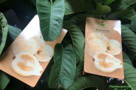 Psidium Guajava 'Limon' – Gele guave